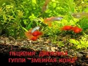Аквариумные рыбки гуппи змеиная кожа красная -- чистая линия.