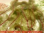 Перестолистник красностебельный -- аквариумное растение и еще.