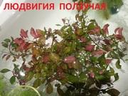 Людвигия ползучая -- аквариумное растение и другие растения.