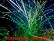 Погестемон октопус --- аквариумное растение и другие...