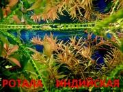 Ротала -- аквариумное растение и много разных растений.