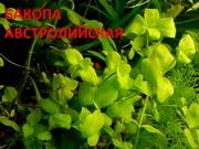 Бакопа австролийская --- аквариумное растение и много разных растений