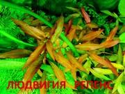 Людвигия гибридная -- аквариумное растение и много разных растений