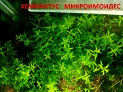 Хемиантус микроимоидес -- аквариумное растение... и разны другие аквар