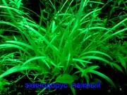 Эхинодорус тенелиус -- аквариумное растение и другие разные растения.