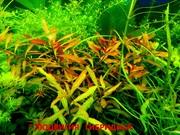 Людвигия гибридная --аквариумные растения и много разных растений
