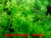 Жемчужная трава - - аквариумное растение и много других растений