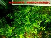 Хемиантус микроимоидес ---- аквариумное растение... и много других ...