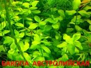 Бакопа австролийская -- аквариумное растение и много других растений
