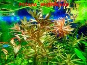 Ротала - аквариумные растения и много других аквариумных растений.
