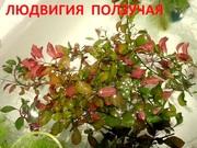 Людвигия ползучая --- аквариумное растение и другие разные растения-