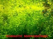 Хемиантус микроимоидес и др. растения - НАБОРЫ растений для запуска. П