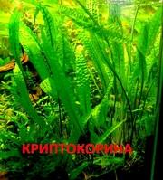 Криптокорина апогенолистная и др. растения - НАБОРЫ растений для запус