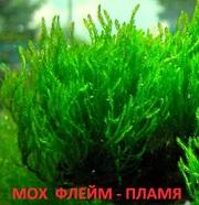 Мох флейм--пламя и др. растения -- НАБОРЫ растений для запуска. ПОЧТОЙ