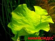 Нимфоидес. НАБОРЫ растений для запуска. ПОЧТОЙ вышлю