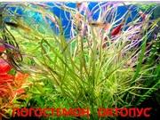 Погестемон октопус.. НАБОРЫ растений для запуска акваса. ПОЧТОЙ отправ