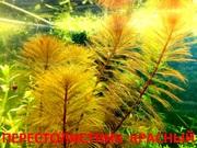 Перестолистник красный.. НАБОРЫ растений для запуска. ПОЧТОЙ и МАРШРУТ