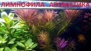Лимнофила ароматика.. НАБОРЫ растений для запуска. ПОЧТОЙ и МАРШРУТК