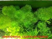 Лимнофила седячецветковая.. НАБОРЫ растений для запуска. ПОЧТОЙ и МАР