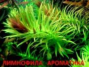 Лимнофила ароматика -- аквариумные растения и много других растений