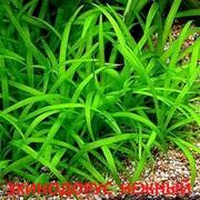 Эхинодорус тенелиус. Соберу набор растений для запуска/