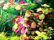 Аквариумные растения. Людвигия круглолистн. Наборы для запуска. ПОЧТОЙ