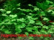 Гидрокатила трипартита - НАБОРЫ растений для запуска. ПОЧТОЙ и МАРШР