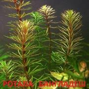 Ротала бангладеш - НАБОРЫ растений для запуска. ПОЧТОЙ и МАРШР