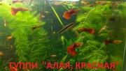 КРАСНАЯ --- АЛАЯ ---- гуппи --- чистая линия. аквариумные РЫБЫ