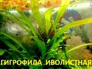 Гигрофила иволистная ---- аквариумное растение и разные растения.