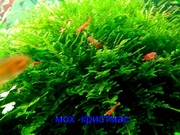Мох крисмас ---- аквариумное растение и другие растения...