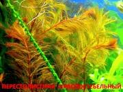 Перестолистник красный -- аквариумное растение и много разных растений--