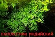 Папоротник индийский -- аквариумное растение и много разных растений