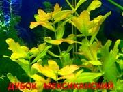 Дубок мексиканский --- аквариумное растение и много разных растени